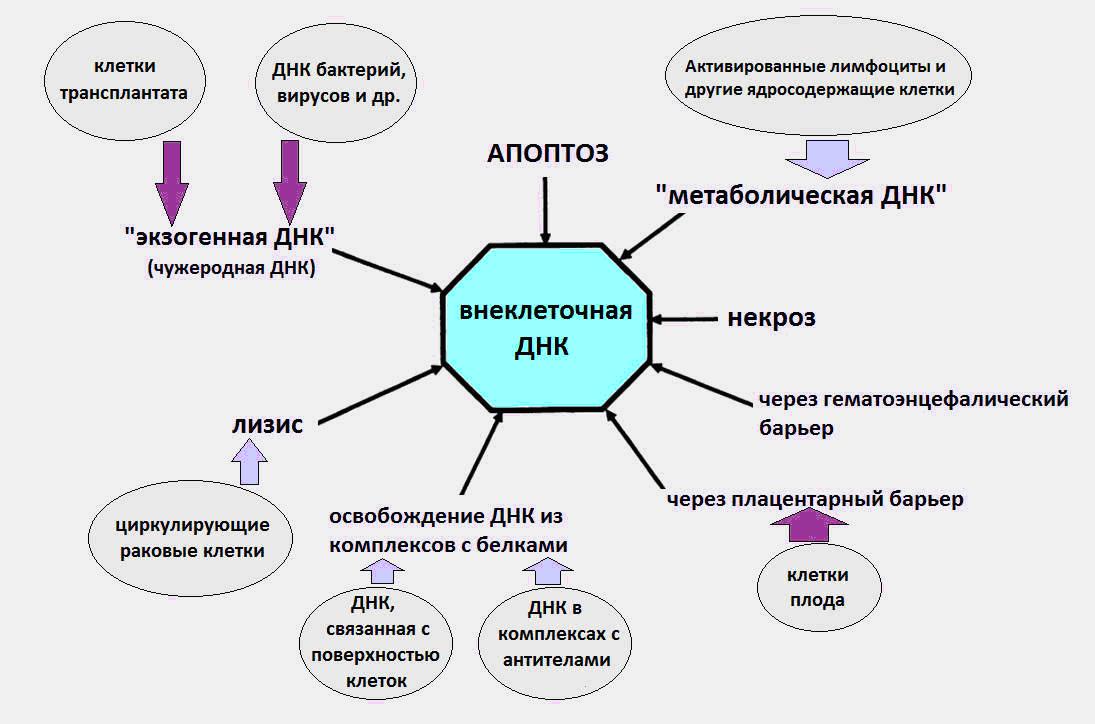 Внеклеточная ДНК, как биомаркер старения и различных патологий - 1
