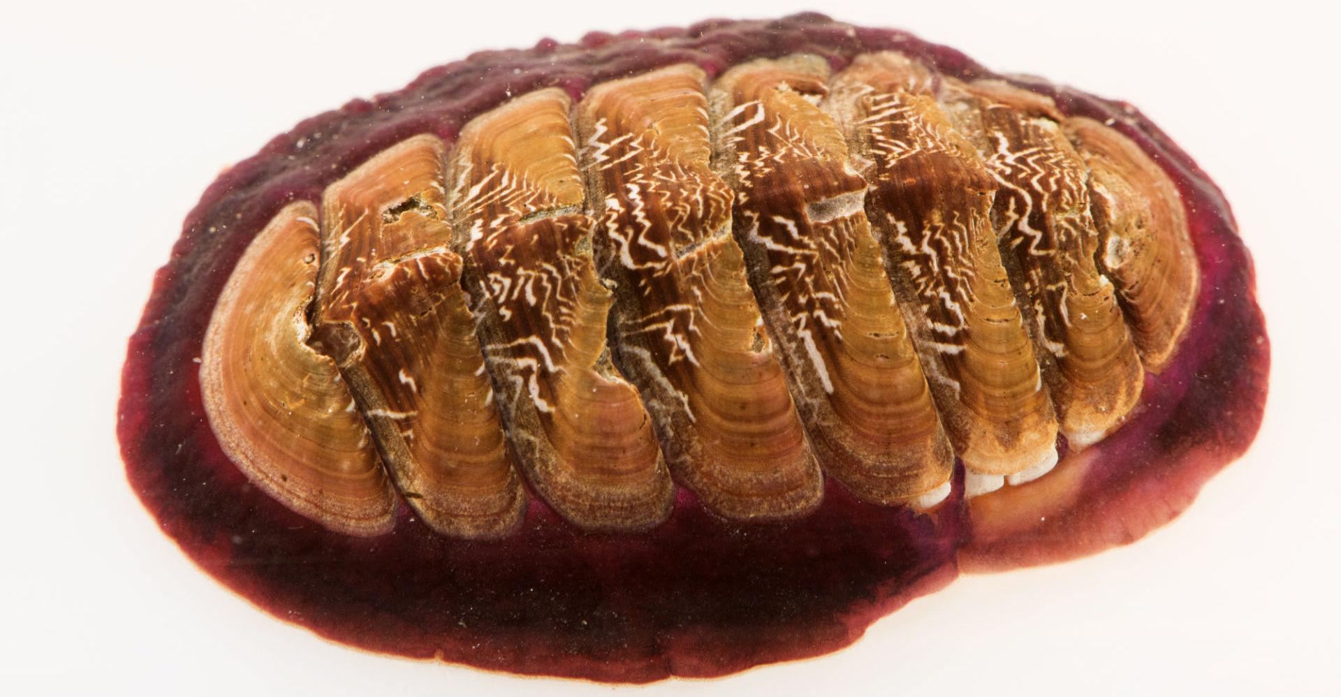 Магнетит в зубах: секвенирование транскриптомов тканей радулы панцирного моллюска - 1