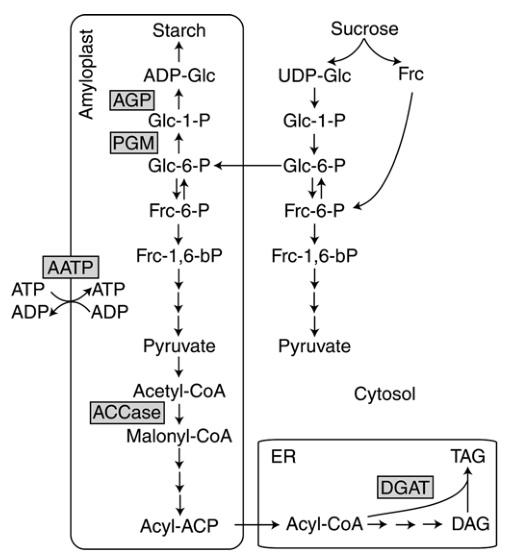 Заметки фитохимика. Картофель. Часть вторая. Рассказы про белки-жиры или «День сыроеда» - 2