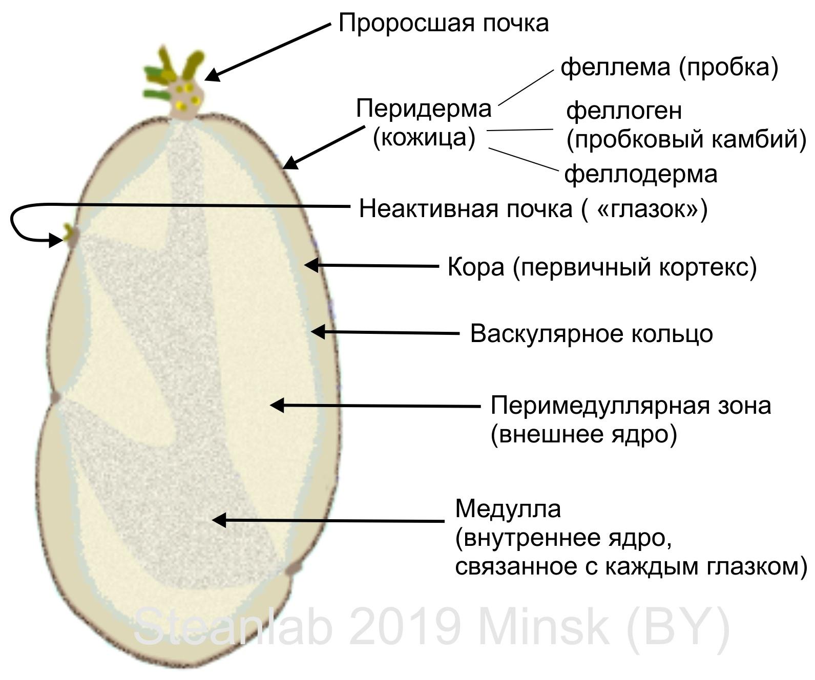 Заметки фитохимика. Картофель. Часть третья. «Бульба Фугу» или СОЛАНИН - 5
