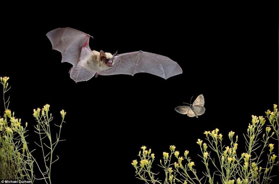 Звуковая диверсия: механизм генерации ультразвуковых щелчков у ночных мотыльков как защита от летучих мышей - 2