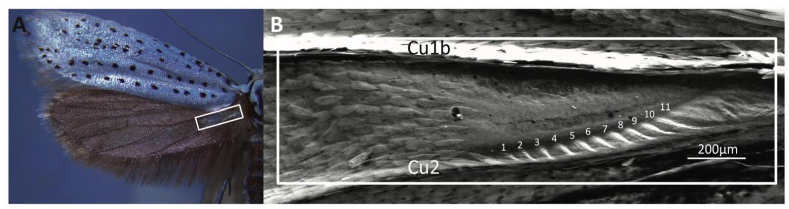 Звуковая диверсия: механизм генерации ультразвуковых щелчков у ночных мотыльков как защита от летучих мышей - 3