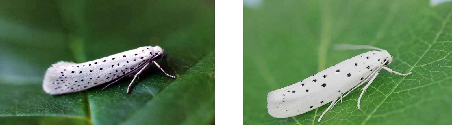 Звуковая диверсия: механизм генерации ультразвуковых щелчков у ночных мотыльков как защита от летучих мышей - 4