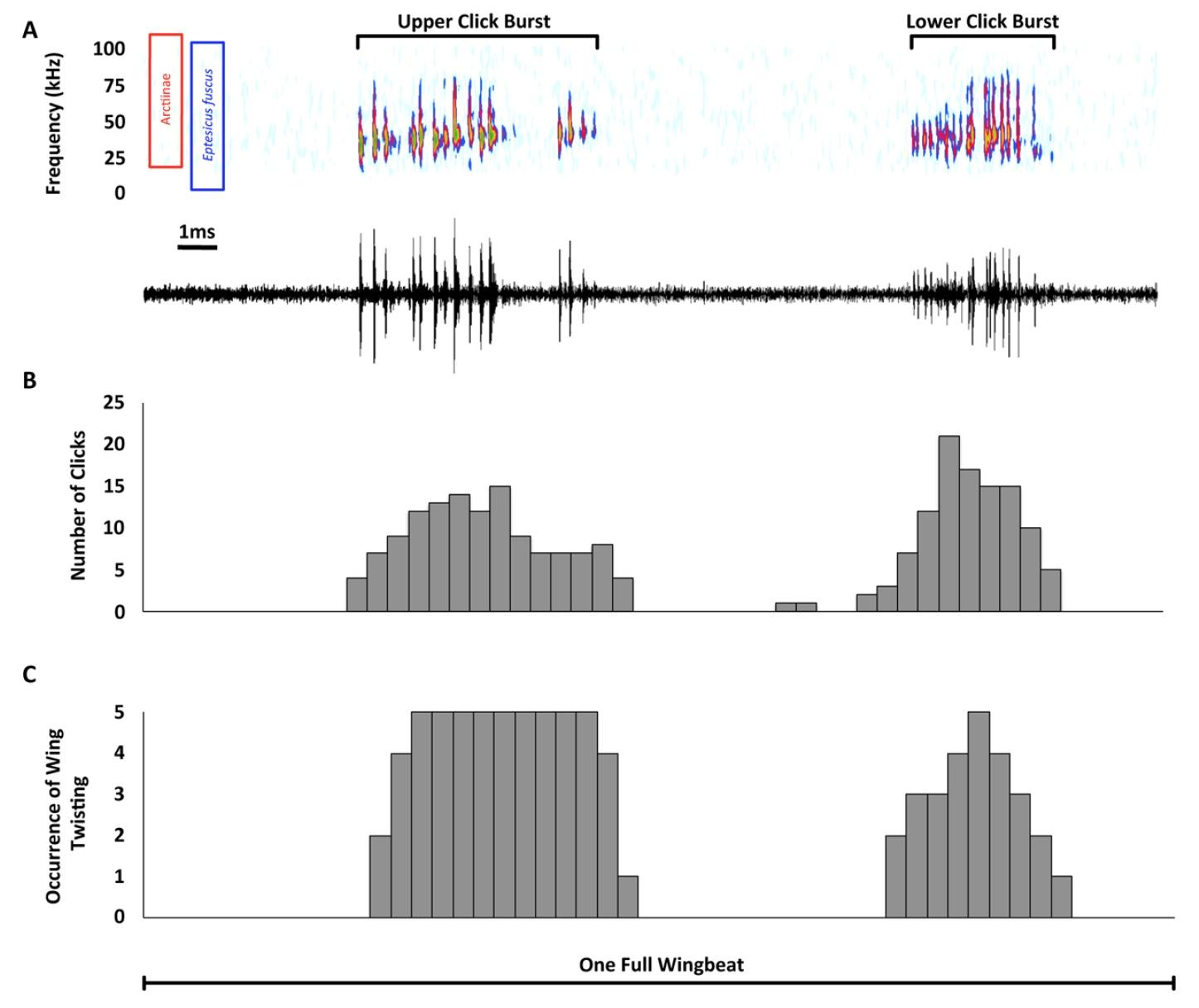 Звуковая диверсия: механизм генерации ультразвуковых щелчков у ночных мотыльков как защита от летучих мышей - 5