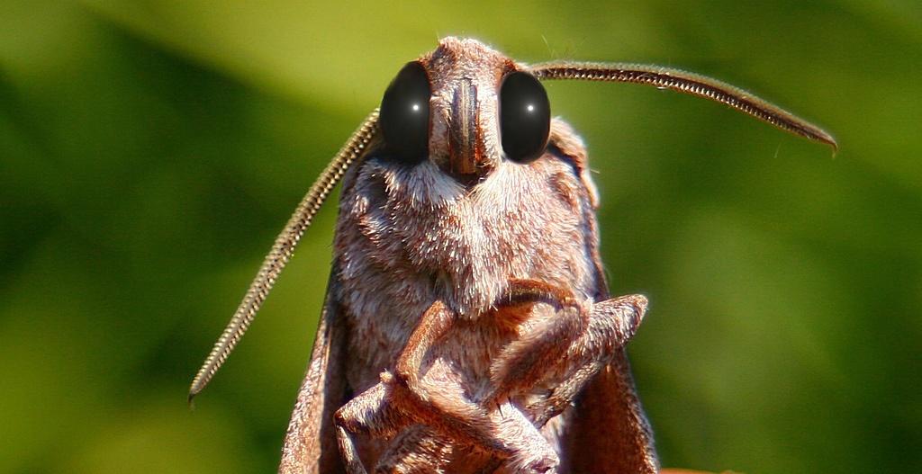Звуковая диверсия: механизм генерации ультразвуковых щелчков у ночных мотыльков как защита от летучих мышей - 1