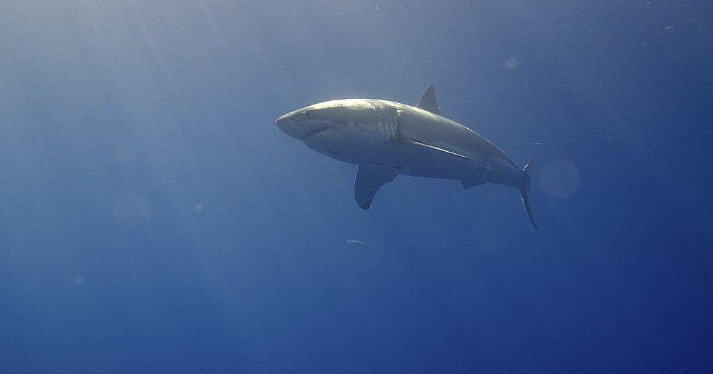 Мегалодоны могли вымереть из-за белых акул