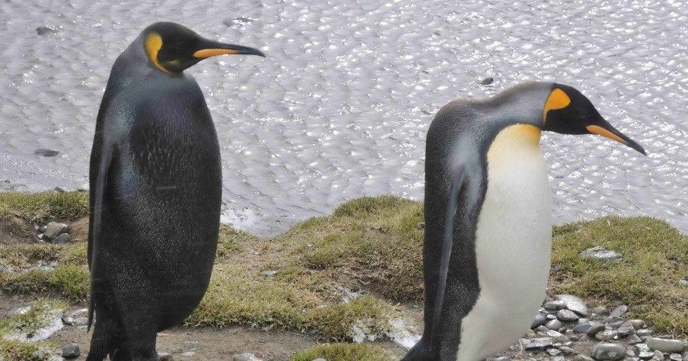 Самый странный пингвин Земли