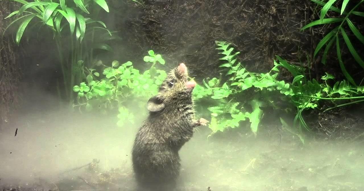 Песни мышей помогут в лечении людей