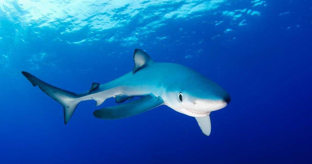 Как голубая акула дайвера поцеловала