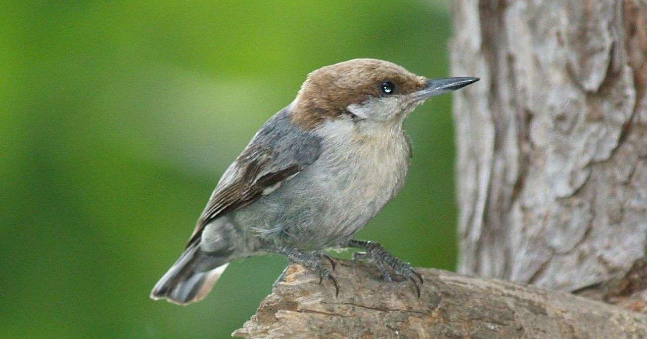 Невозможность найти пару вынуждает птиц идти в няньки к соседям