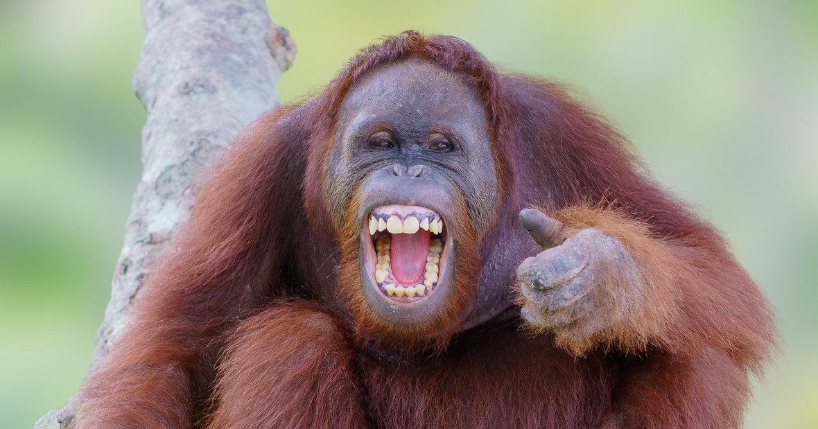 Как обезьяны реагируют на фокусы