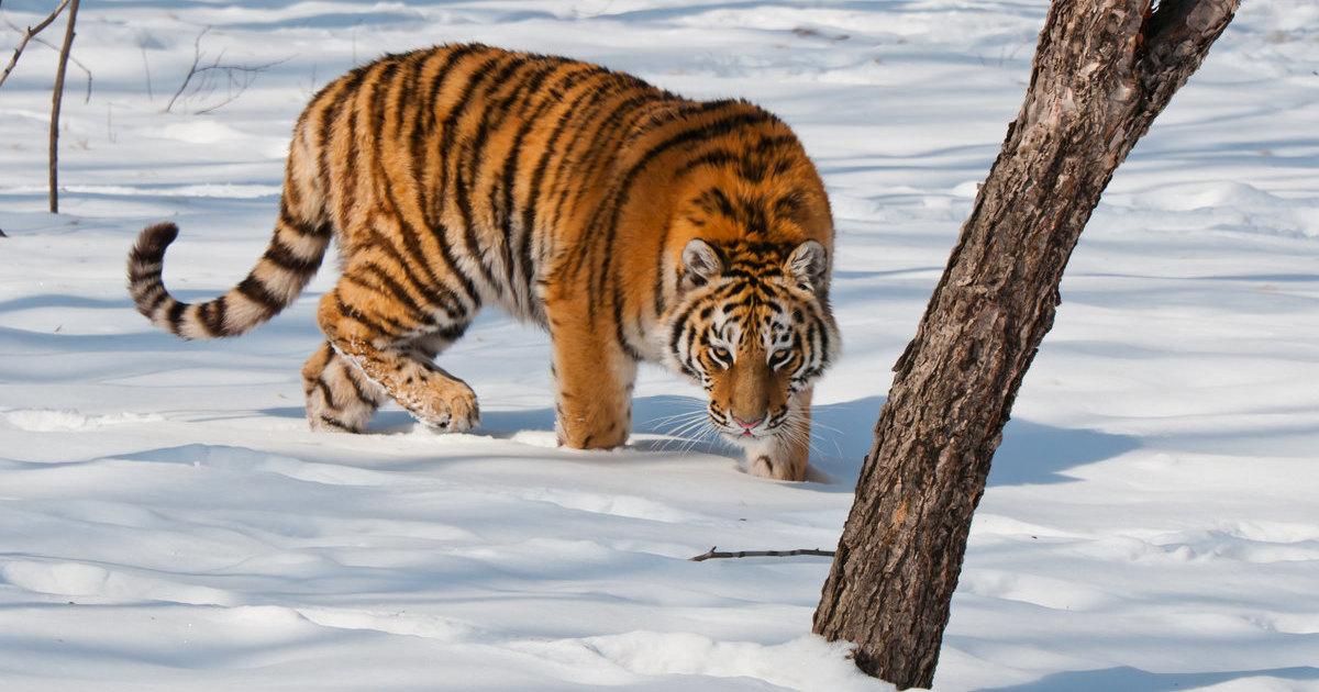 Хабаровчанин убил тигра из-за коровы