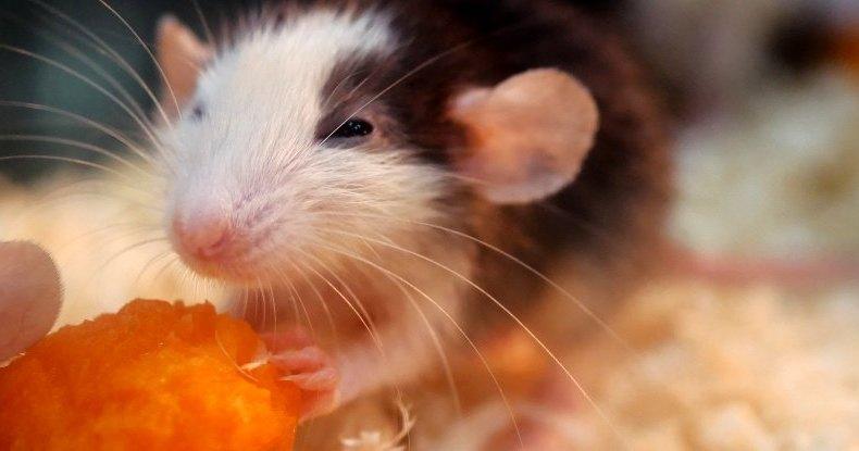 Ученые исцелили крыс от алкоголизма, поджарив их мозги лазером