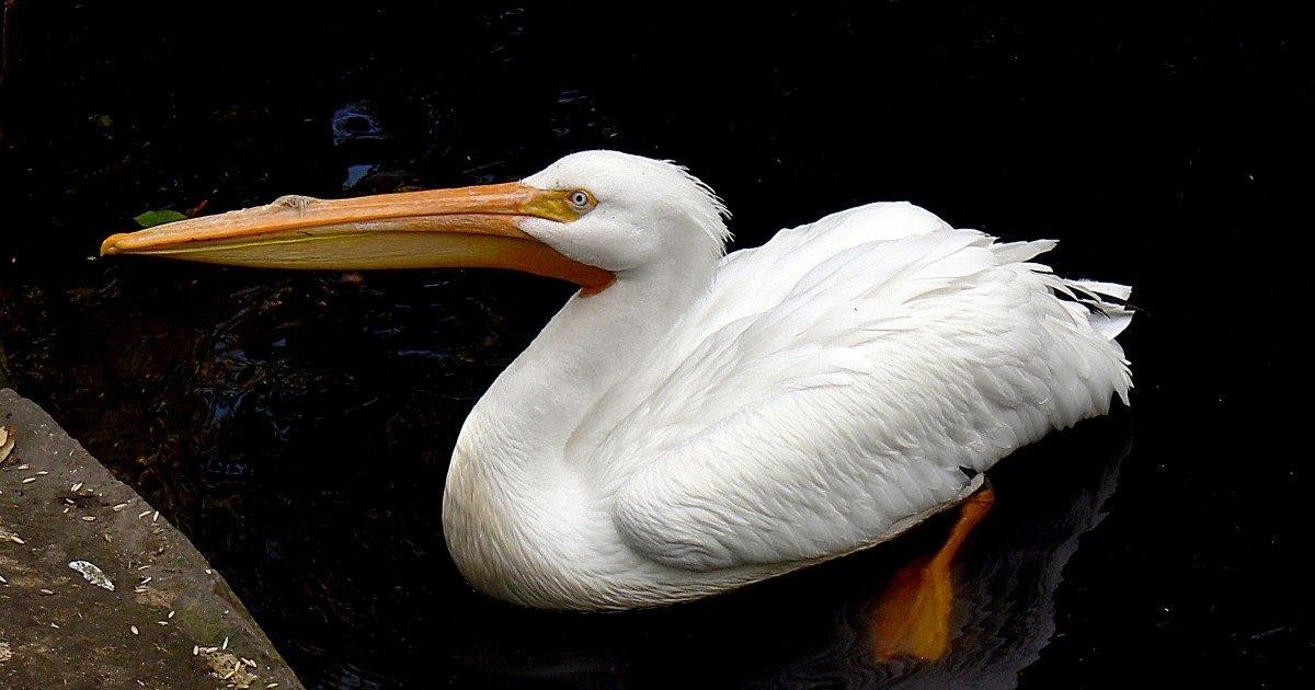 Может ли пеликан охотиться на других птиц? Еще как!