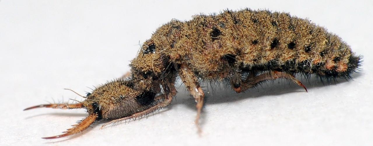 Фероподы не помогут: исследование и математическое моделирование ям-ловушек личинок муравьиных львов - 4