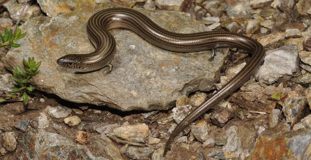 Непостоянство эволюции: живорождение и яйцекладка одновременно у ящериц вида Saiphos equalis - 2