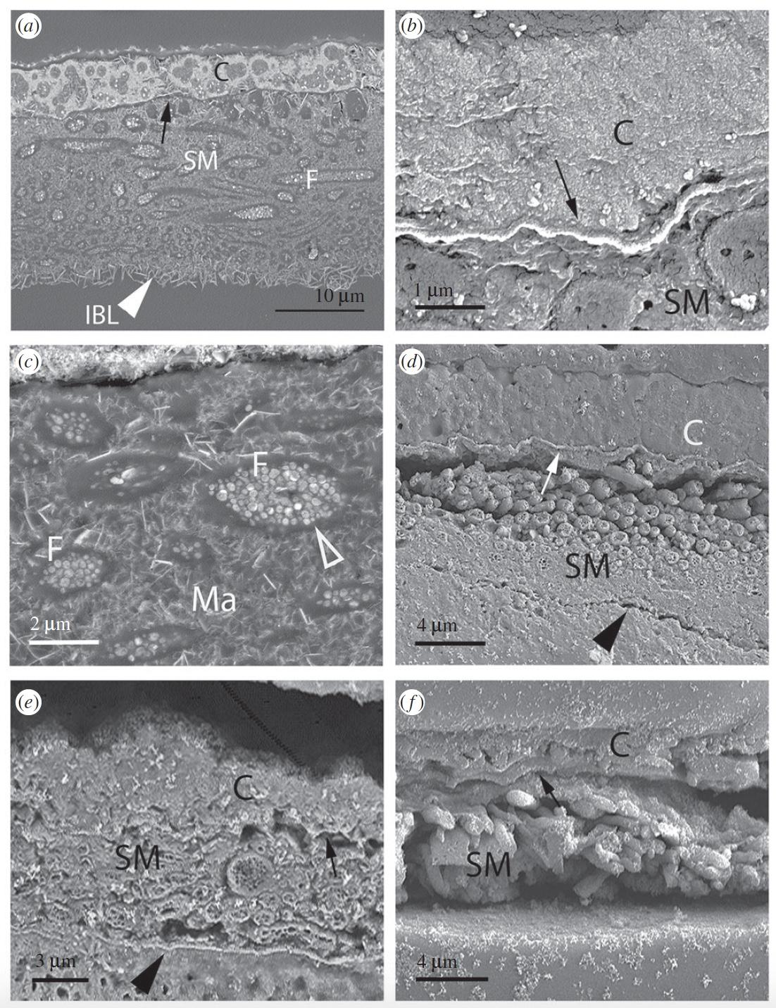 Непостоянство эволюции: живорождение и яйцекладка одновременно у ящериц вида Saiphos equalis - 6