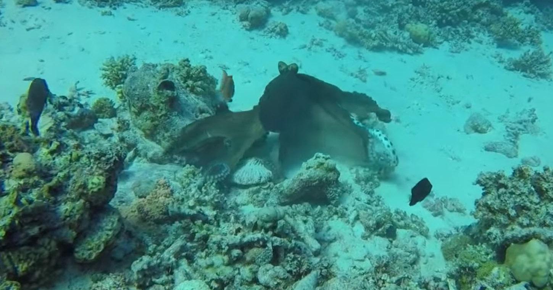 Морской бой: осьминог против морской змеи