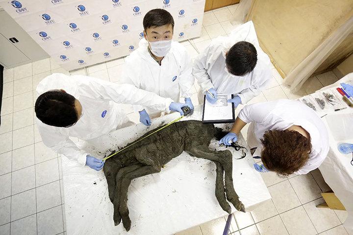 Ученые взяли кровь у лошади возрастом 42 тысячи лет
