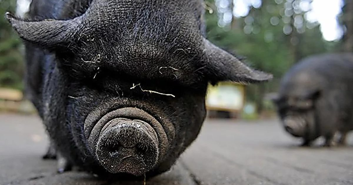Мозг мертвой свиньи оказался живуч