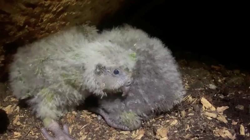 Вымирающие попугаи начали интенсивно размножаться