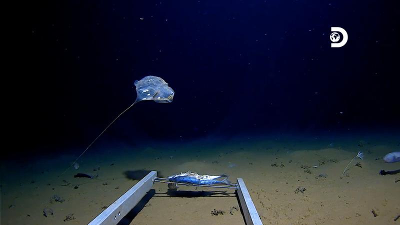 В самой глубокой части Индийского океана нашли странное существо
