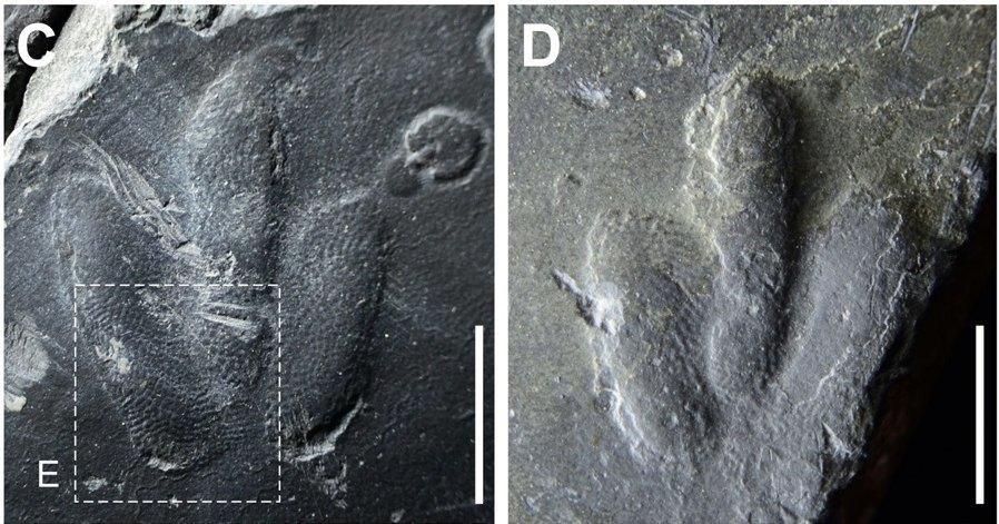 Найдены удивительно четкие отпечатки лап динозавров