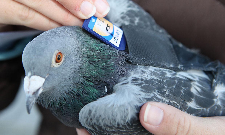 Обратите внимание на почтовых голубей: возможности этой технологии удивительны - 4