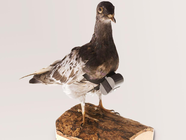 Обратите внимание на почтовых голубей: возможности этой технологии удивительны - 1