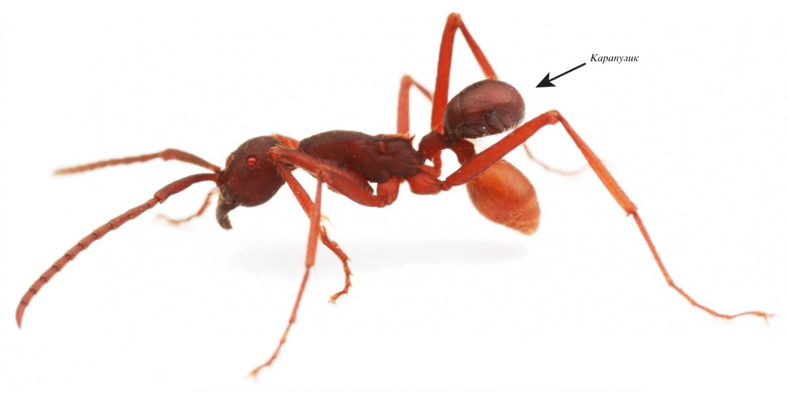 Карапузик верхом на муравье: 100 миллионов лет мирмекофилии - 1