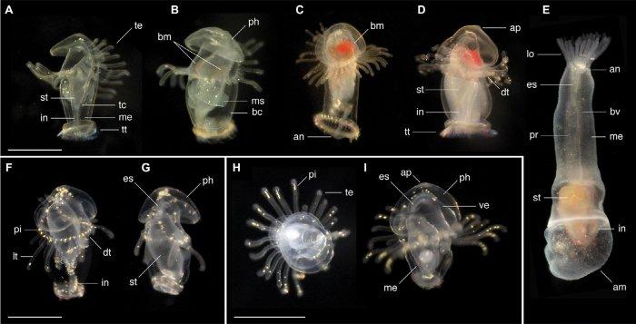 Открыты новые виды загадочных морских существ: отцы и дети