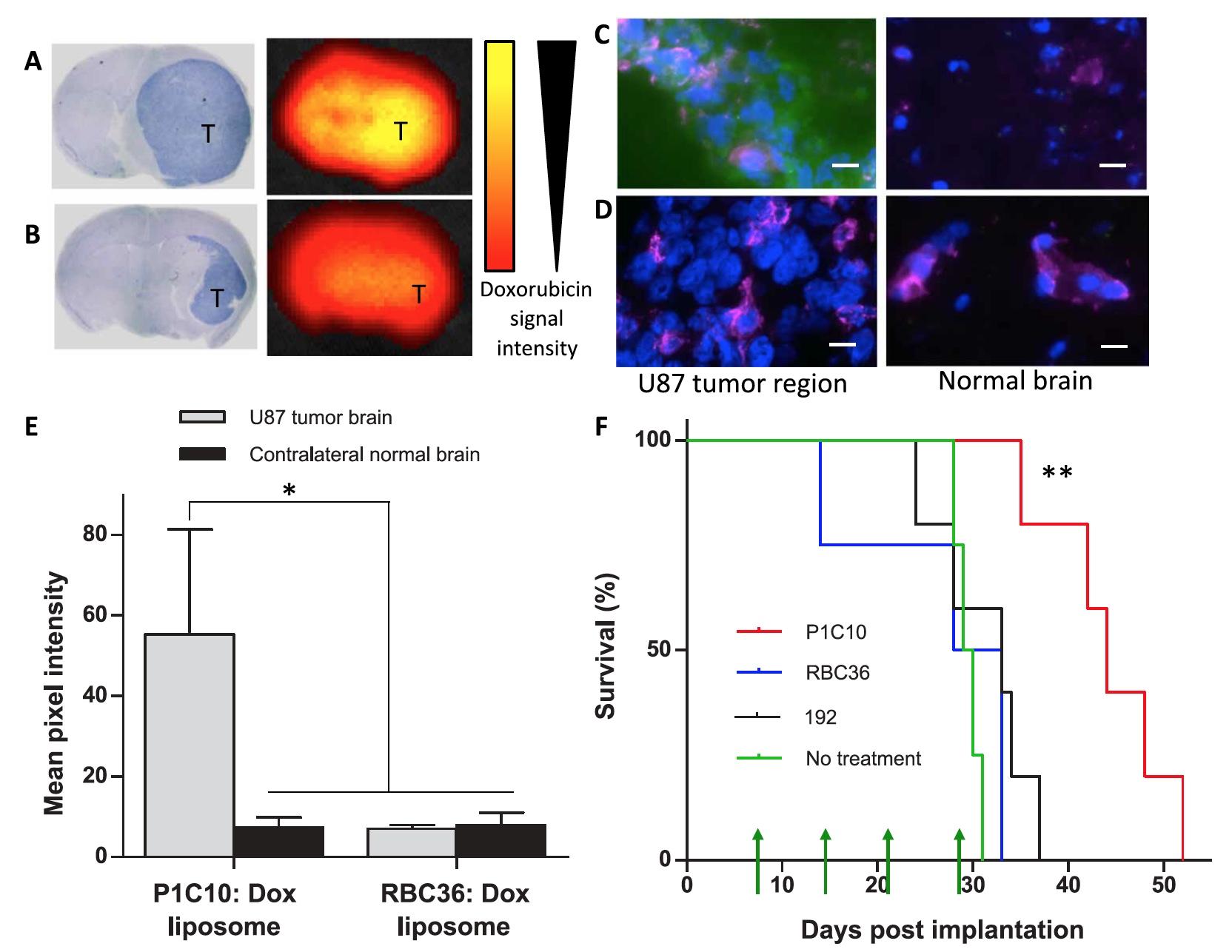 Вред во благо: иммунная система миноги в борьбе с раком головного мозга человека - 10