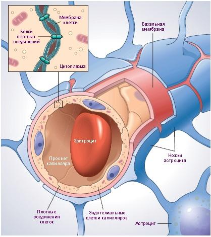 Вред во благо: иммунная система миноги в борьбе с раком головного мозга человека - 2