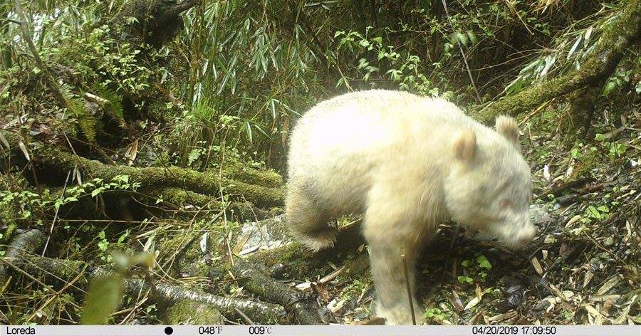 Впервые замечена панда-альбинос
