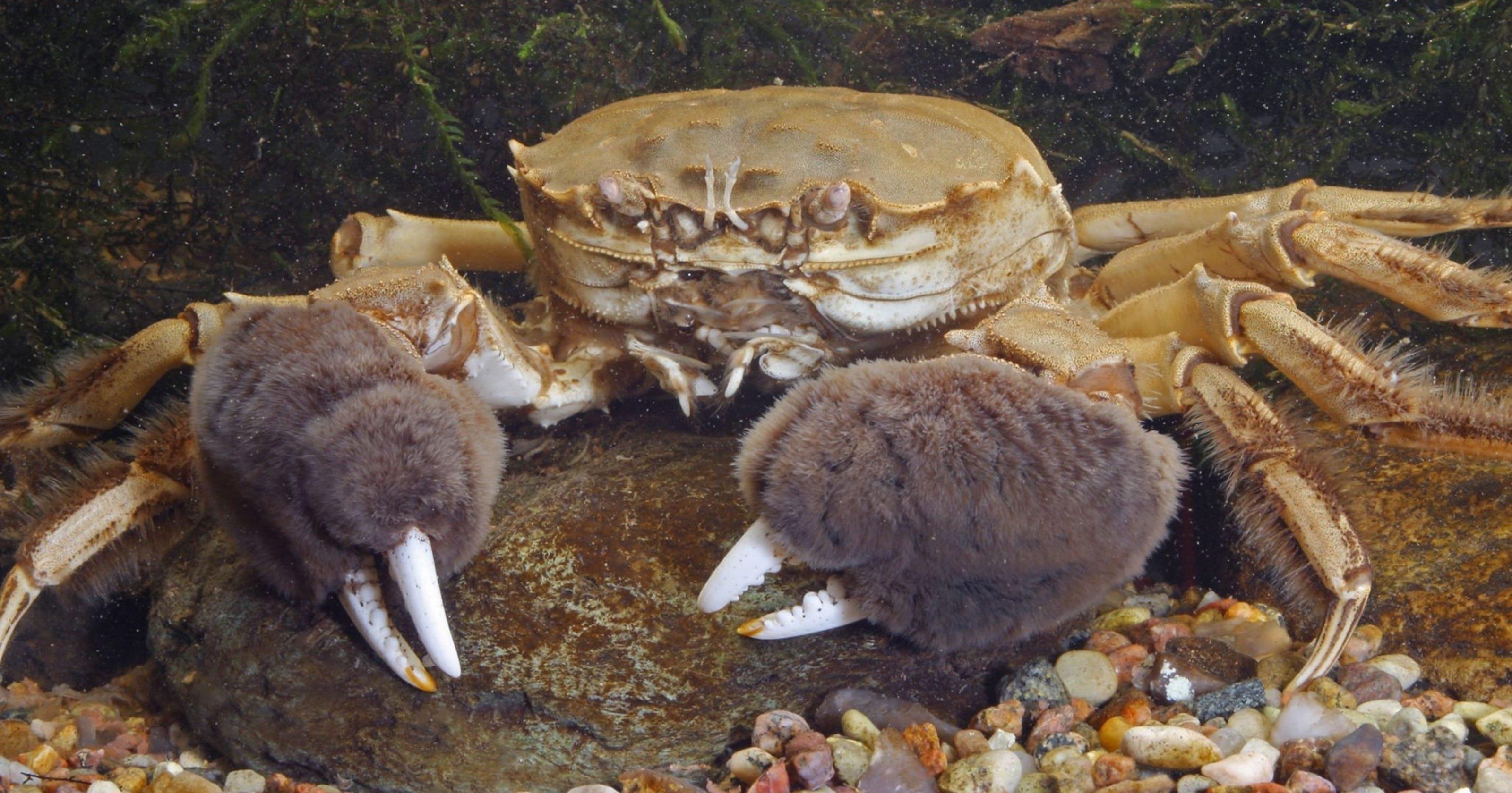 В реках Подмосковья появились опасные китайские крабы