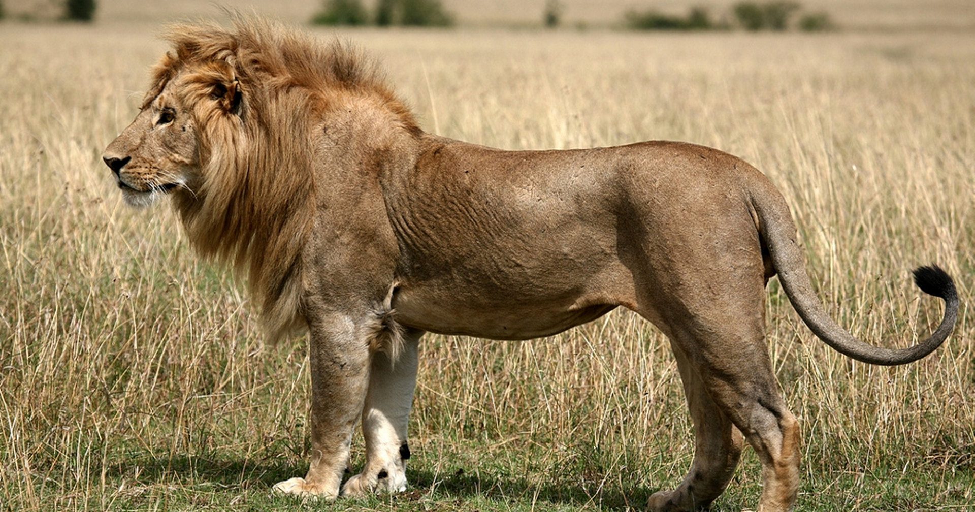 Жителям Лимпопо угрожают дикие львы