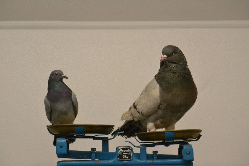 Как возникают виды: жившие на разных голубях вши оказались не способны к сексу