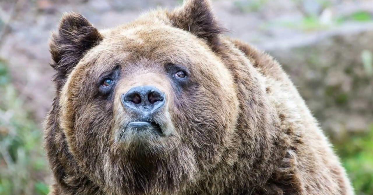 Тувинец во время драки с медведем откусил ему язык