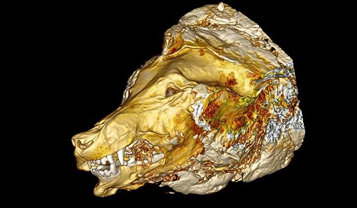 В вечной мерзлоте найдена отлично сохранившаяся голова древнего хищника