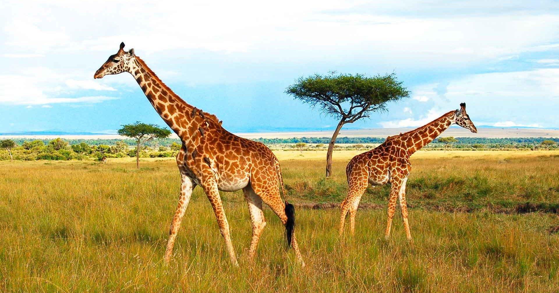 Молния убила двух жирафов