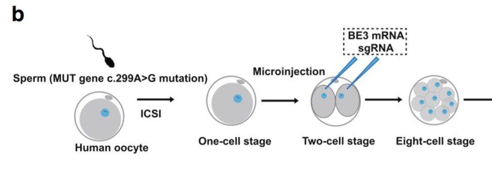 Генная инженерия эмбрионов человека станет безопасной и эффективной в течение двух лет - 2