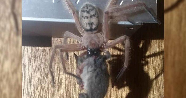 Австралийский паук сожрал целого опоссума: хищная натура
