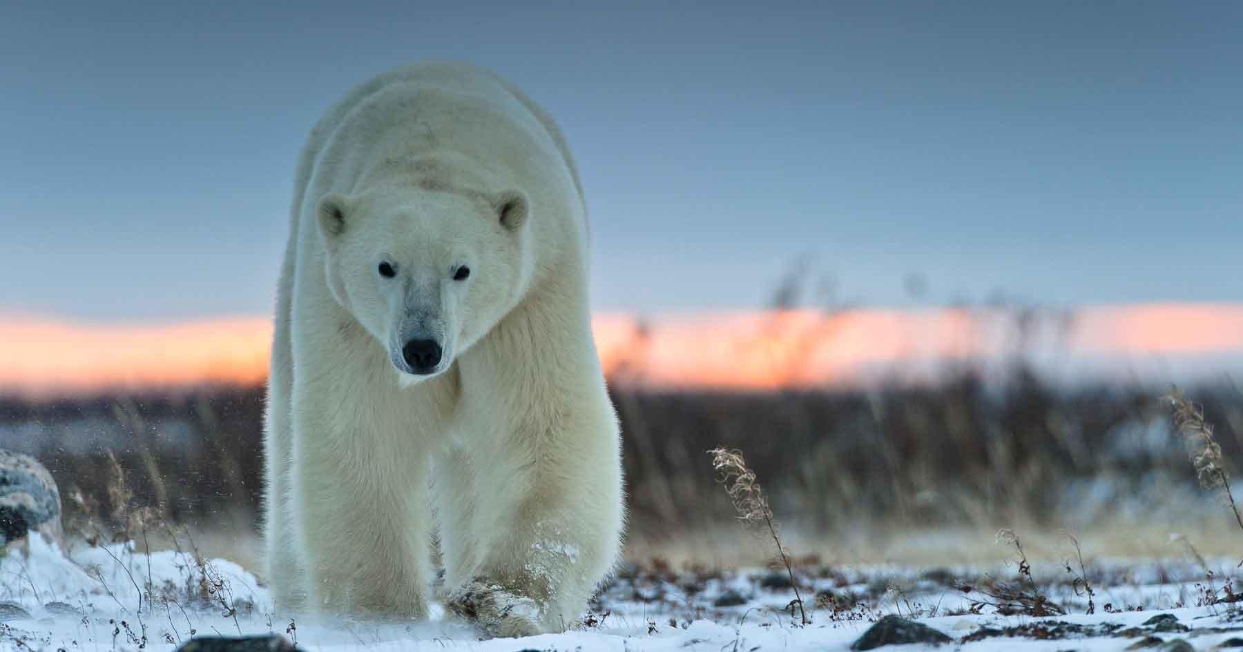 В Норильске поймана белая медведица
