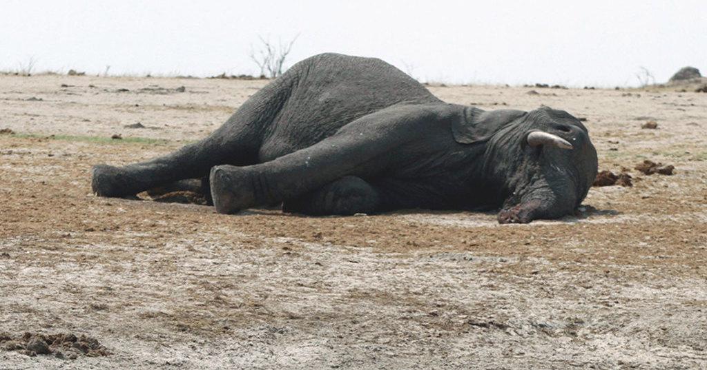 Ботсванские грифы отравились ядовитыми слонами