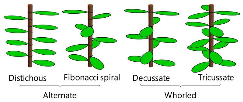 Математика листьев: как один необычный куст изменил уравнение модели роста растений - 7