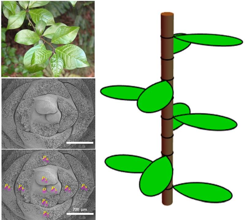 Математика листьев: как один необычный куст изменил уравнение модели роста растений - 1