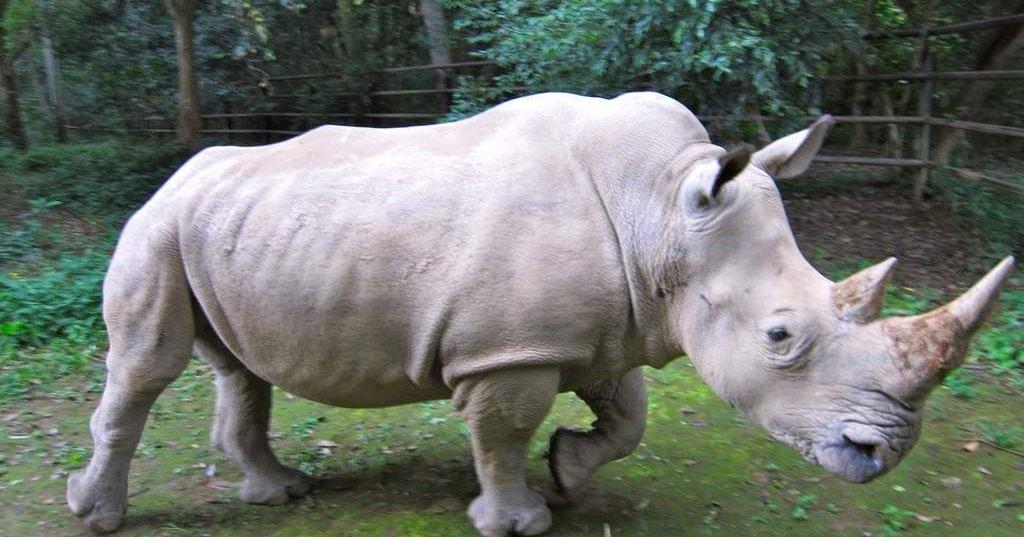 У носорогов появится суррогатное материнство