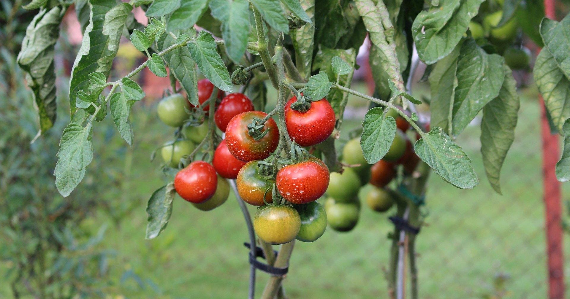 Американцам разрешили сажать помидоры перед домом