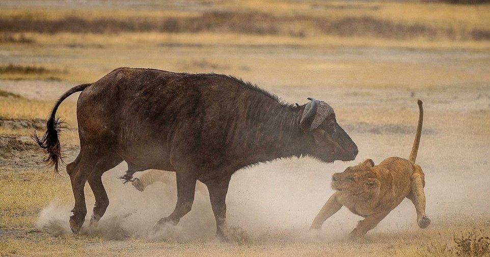 Львы против буйвола: смертельная схватка