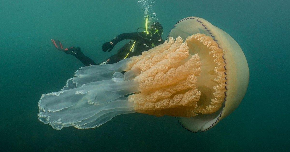 Колоссальная медуза обнаружена близ побережья Великобритании